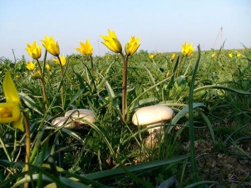 Чаудинский Екатериненский гриб
